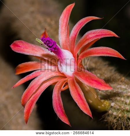 Close Up Of A Red And Purple Cactus Flower Blooming