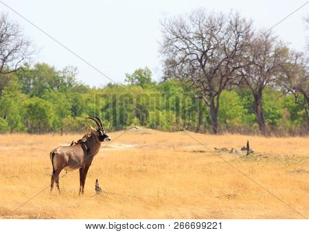 A Rare Roan Antelope Standing On The Dry Open Plains Of Hwange National Park, Zimbabwe