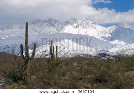 Saguaros After Snow Storm.