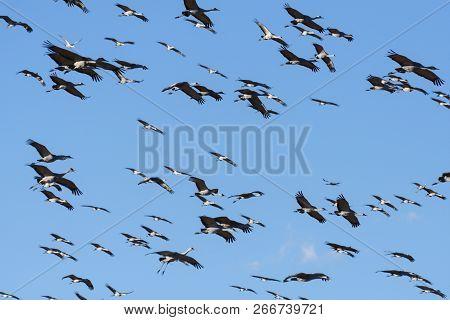 Group Of Flying Sandhill Cranes Near Monte Vista, Colorado.