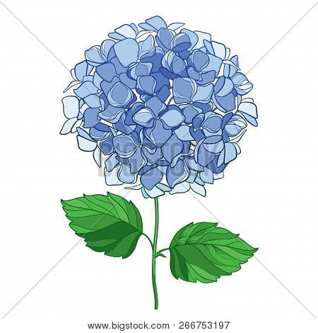 Vector Drawing Of Outline Hydrangea Or Hortensia Flower Bunch In Pastel Blue And Ornate Green Leaves
