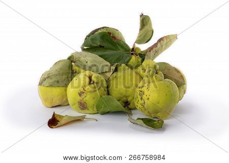 Autumn Green Quince With Leaves, Details. White Background.