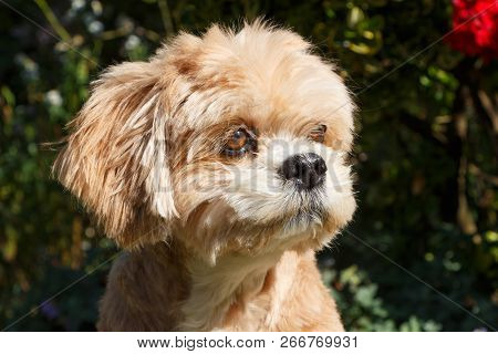 Red Lhasa Apso Dog Sitting In A Garden