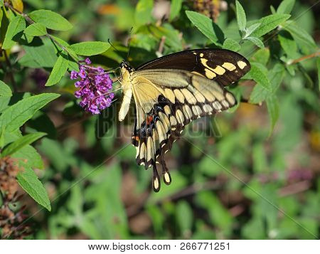 An Eastern Yellow Black Swallowtail Butterfly Visits A Garden Planted  With High Nectar Content Plan