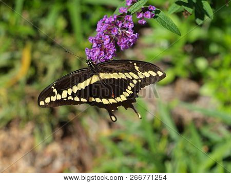 An Eastern Yellow Black Swallowtail Butterfly Shows Its Top Wing Pattern On The Black Side. The Unde
