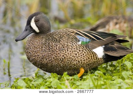 Bluewinged Teal At Rest On The Bank