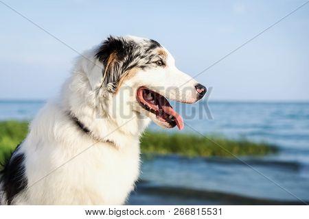 Portrait Of A Cute Dog Australian Shepherd Aussie On The Beach Near The Water