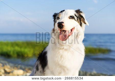 Portrait Of A Cute Dog Australian Shepherd Aussie Smiles Against The Blue Sky And Sea Beach