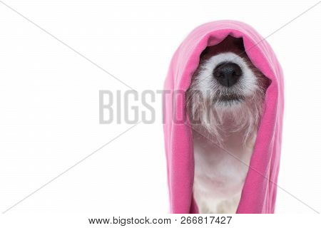 Jack Russell Dog Waiting For A Bath With A Pink Towel On Head Isolated On White Background. Studio S