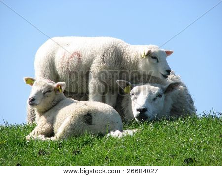Three sheeps in a sitting positioning.