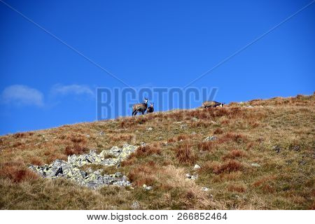 Chamois On Mountain Meadow With Few Stones Near Derese Hill In Nizke Tatry Mountains In Slovakia Dur