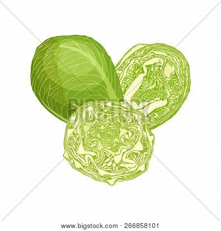 Still Life With Green Cabbage. Vector Composition.