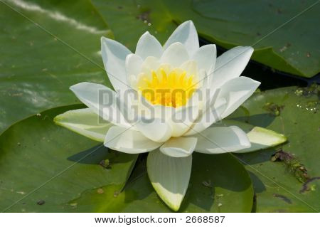 Waterlilly On Green Pads