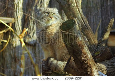A Pallas Cat Perched On A Log Looking At Us.