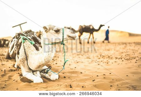 Tamed dromedary resting after desert ride excursion in Merzouga area near Erg Chebbi dunes at beginning of Sahara in Morocco - Travel wanderlust concept with moroccan camel at sunset on warm filter poster