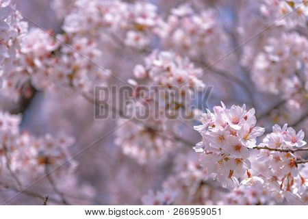 Cherry Blossom In Spring Season At Tokyo, Japan. Cherry Blossoms Will Start Blooming Around The Late