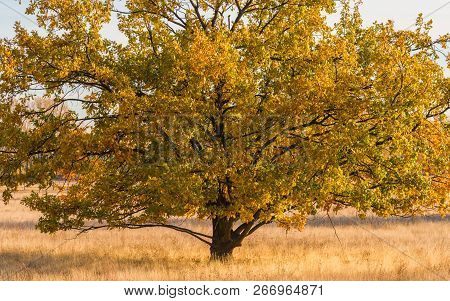 An Old Oak Stands On The Dry Meadow