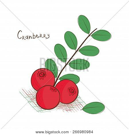 Cranberry. Sketch. Drawing On A White Background.