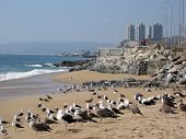 Seagulls on the beach of Vina del Mar, Chile poster