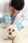 A male vet inserting a needle syringe into the back scruff of a pet dog's neck poster