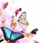 Butterflies on blossoms of orchid, isolated on white background poster