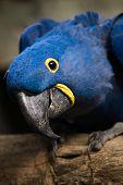 Closeup portrait of the blue ara parrot poster
