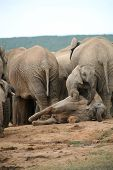 Elephant life - located in the Addo National Park in South Africa poster