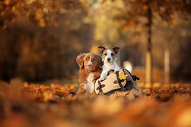 Dogs Traveler. Autumn Mood. Red Nova Scotia Duck Tolling Retriever And A Jack Russell Terrier. Happy