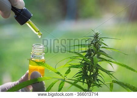 Hand Holding Bottle Of Cannabis Oil In Pipette.  Cbd Oil Cannabis Extract, Medical Cannabis Concept,