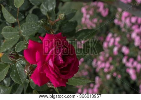 Beautiful Colorful Rose Flower On Garden Background