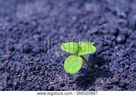 New Life And Purpose Concept. Lonely Green Sprout Breaks Through The Dry Earth. Copy Space.