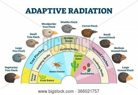 Adaptive Radiation Vector Illustration. Labeled Birds Diet Evolution Diagram. Darwins Finch Scheme E
