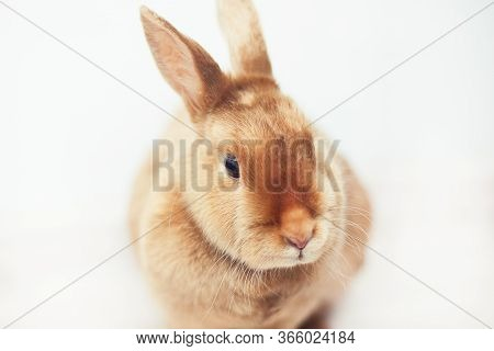 Red Rabbit On White Background. Portrait Of The Hare