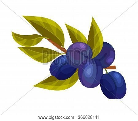 Plum Branch With Mature Fruits Hanging Vector Illustration