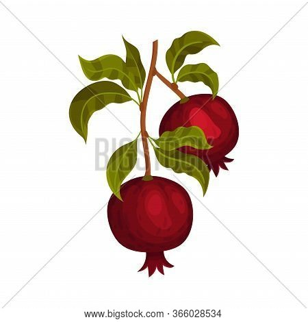 Pomegranate Branch With Mature Fruit Hanging Vector Illustration