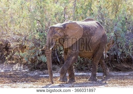 A Young, Solitary Elephant In Namibia. It Has A Blotchy Appearance As It Has Been Using Mud To Cool