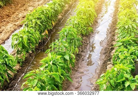 Row Watering Of Pepper Plantations. Heavy Copious Irrigation. Growing Vegetables In The Agricultural
