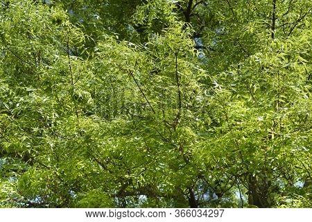 Narrow-leaved Ash Tree - Latin Name - Fraxinus Angustifolia