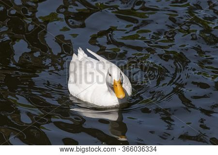 Large White Heavy Duck Also Known As America Pekin Duck, The Duck Swims In Dark Water With Reflectio