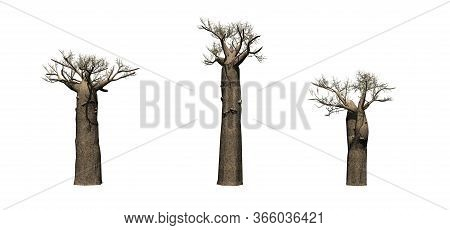 Set Of Madagascan Baobab Trees In Winter - Isolated On White Background - 3d Illustration