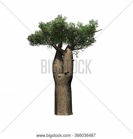 Madagascan Baobab Tree - Isolated On White Background - 3d Illustration