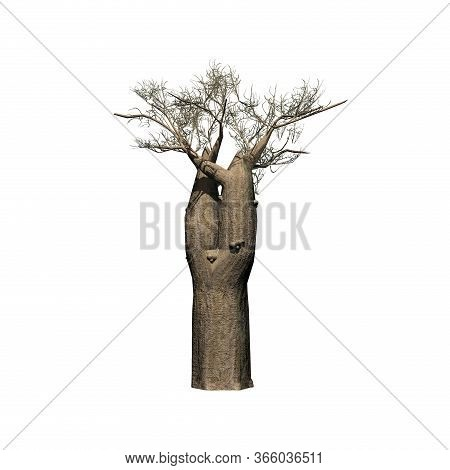 A Single Madagascan Baobab Tree  In Winter - Isolated On White Background - 3d Illustration