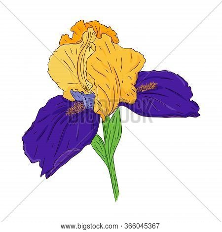 Blooming Iris Flower. Bright Color Spring Botanical Illustration. Hand Drawn And Isolated On White.