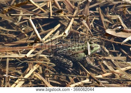 Amphibian Lake Frog Sitting On The Water. The Texture Of The Frog Background The Frog On The Water S