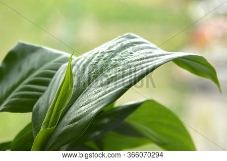 Houseplant - Spathiphyllum Floribundum - Peace Lily. Water Drops On Leaves Of A Spathiphyllum Macro