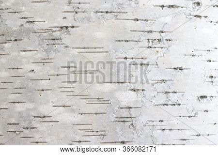 Pattern Of Birch Bark With Black Birch Stripes On White Birch Bark And With Wooden Birch Bark Textur