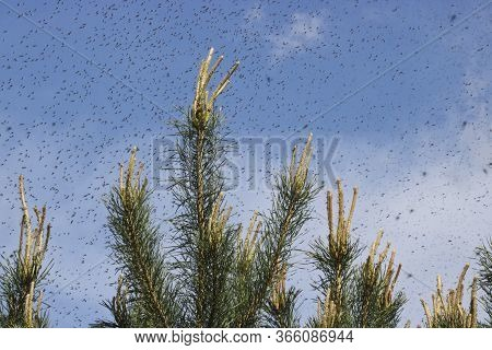 A Huge Number Of Mosquitoes Against A Cloudy Sky Above The Shoots Of Pines. Swarm Of Gnats. The Mati