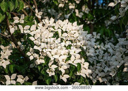 White Flowers On A Tree Kousa Dogwood Blossoms. Flower Background