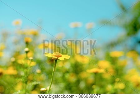 Field Of Yellow Spring Daisy Flowers. Spring Day With Fresh Sunny Flowers.