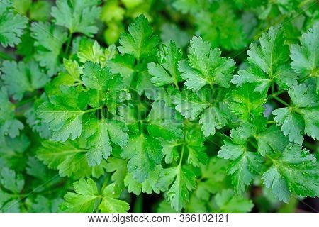 Parsley Leaves Top View. Parsley Plant Twigs Background. Green Natural Background, Spices. Medicinal